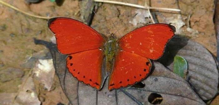 papillon-sangaris